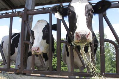 Virus Outbreak One Good Thing Cow Caretakers