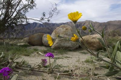 TRAVEL-UST-CALIF-DESERT-WILDFLOWERS-SD