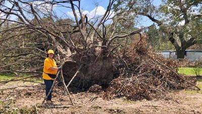Huge Fallen Trees