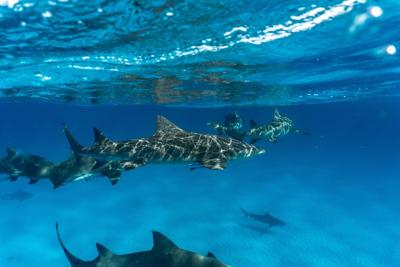 A tourist went missing while snorkeling. His hand was found inside a shark.