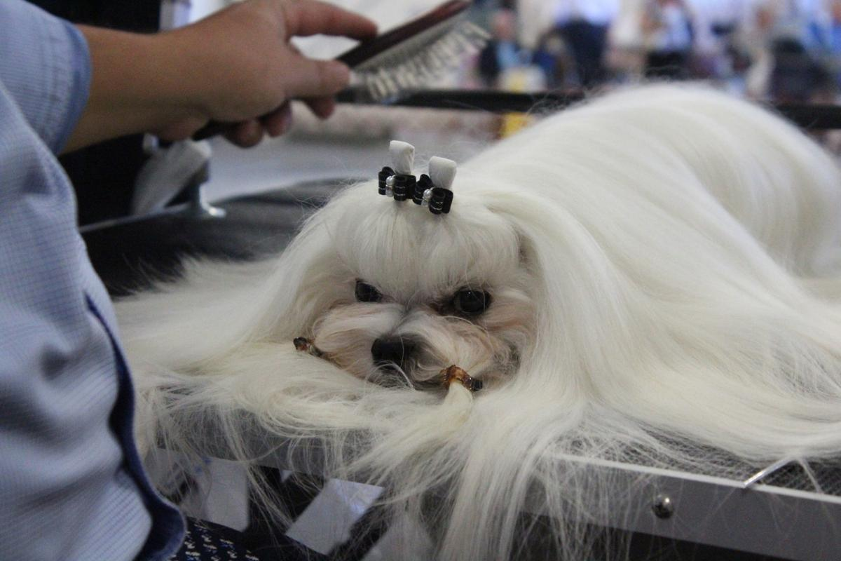 More than 400 dogs parade in two-day breeder show in Chatham
