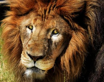 lion kills 22 year old worker at conservators center in caswell