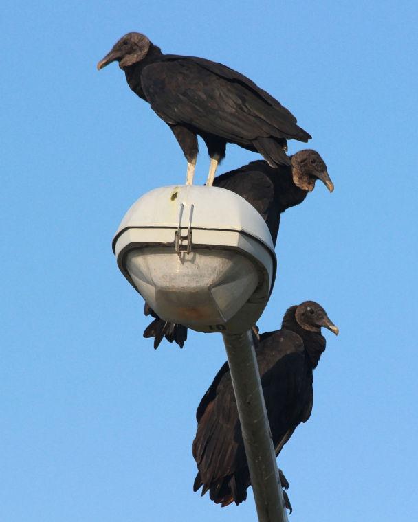 vultures the creepy scavengers on the riverwalk trail lifestyles godanriver com