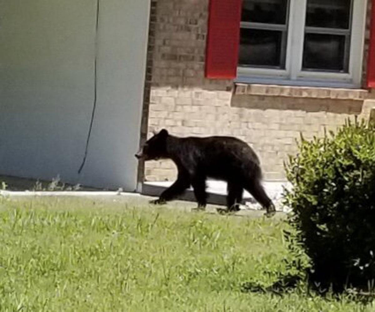 Bear in Danville