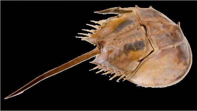 Horeshoe Crab 2