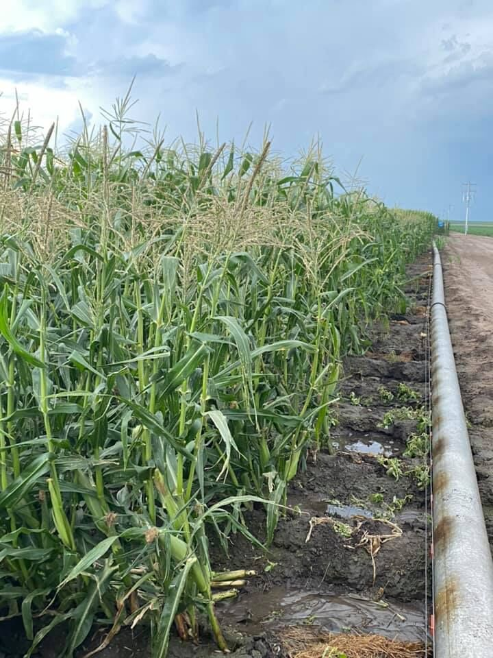 Oberg corn field.jpg