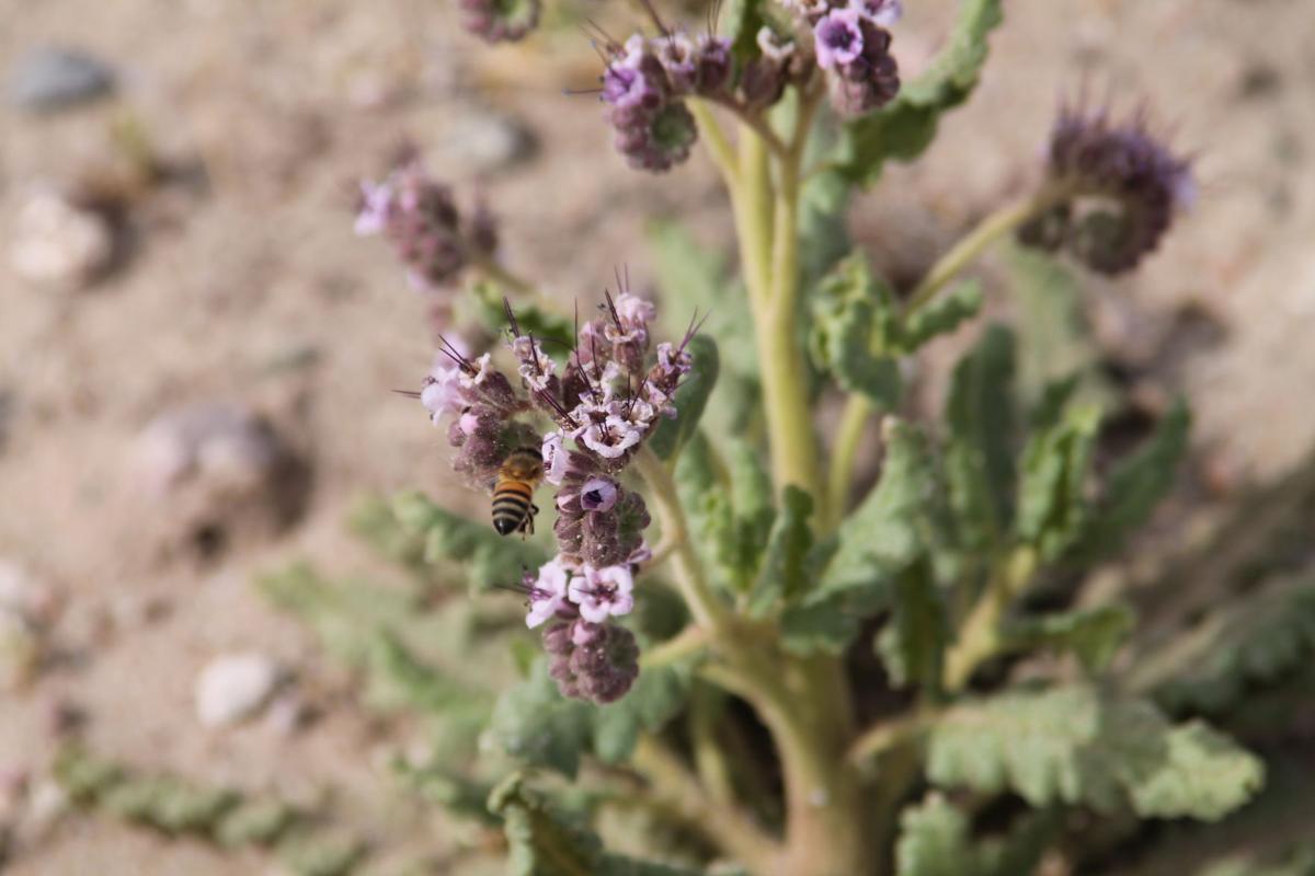 IMG_3150.JPG-Bee & Flower.JPG
