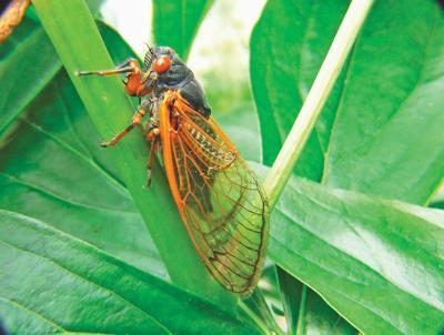 Brood X cicadas to emerge