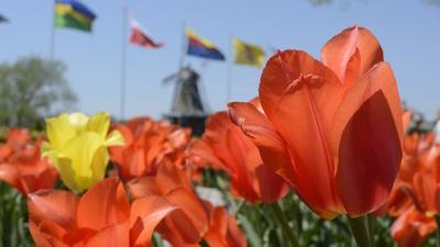 Tulip Time Canceled