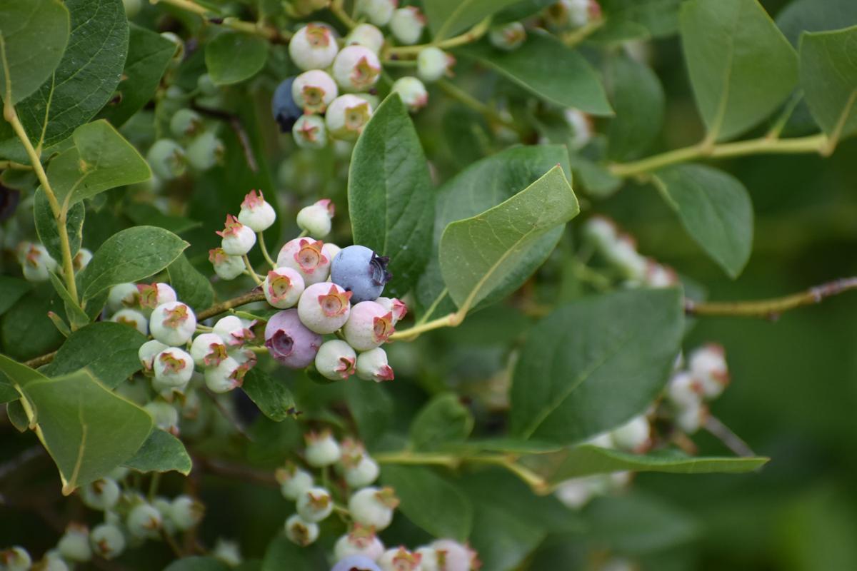 Blueberry Crop 1