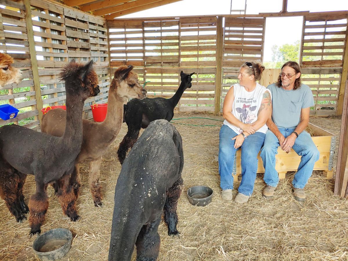 Alpaca farm new beginnings