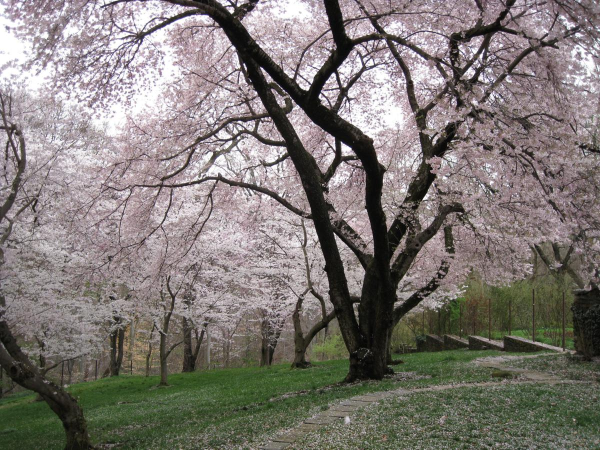 Six Spots Where You Can Enjoy The Cherry Blossoms Around D C