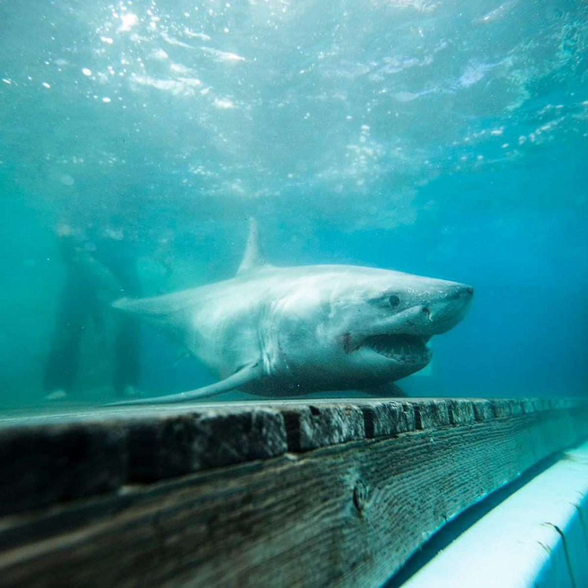 10 Foot Shark Lurking Off Outer Banks May Be Afraid To Cross Forbidding Sea Barrier Local News Greensboro Com