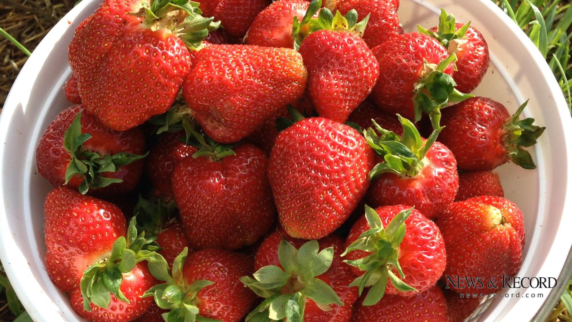 Video Strawberry Picking At Rudd Farm In Greensboro Latest News Greensboro Com