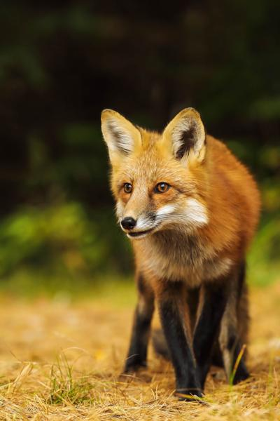 9th case of rabies confirmed in Guilford County fox