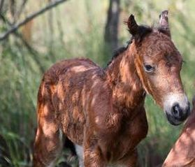 Rundown Fence Has Allowed Wild Horses To Turn Corolla Into Their Mane Drag Local News Greensboro Com