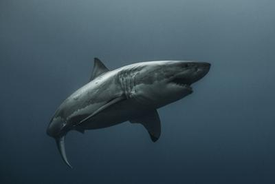 The Great White Shark (copy)