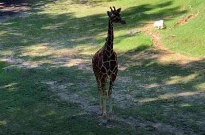 Amelia the giraffe at NC Zoo