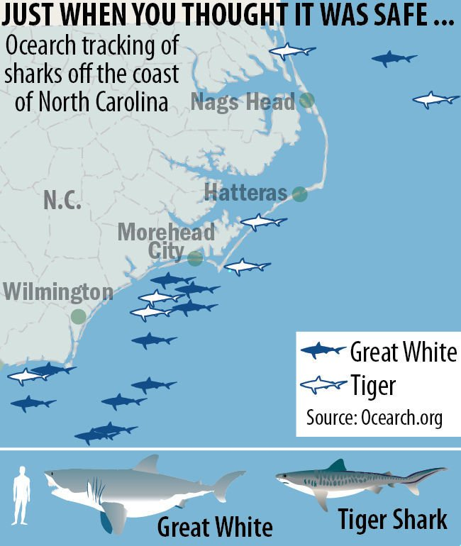 Great White Sharks Converging Off Carolinas Warm Winter Is A Factor Expert Says State And Regional News Greensboro Com
