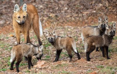 Maned Wolf Pups