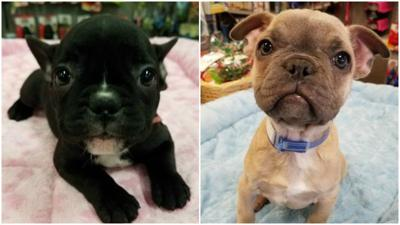 2 French Bulldog Puppies Stolen From Greensboro Pet Store Crime