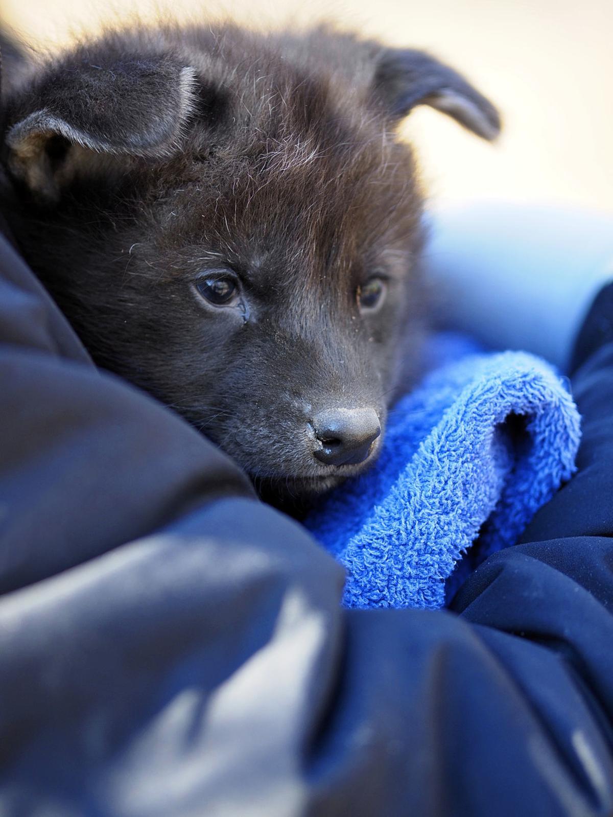 wolf pup3.jpg