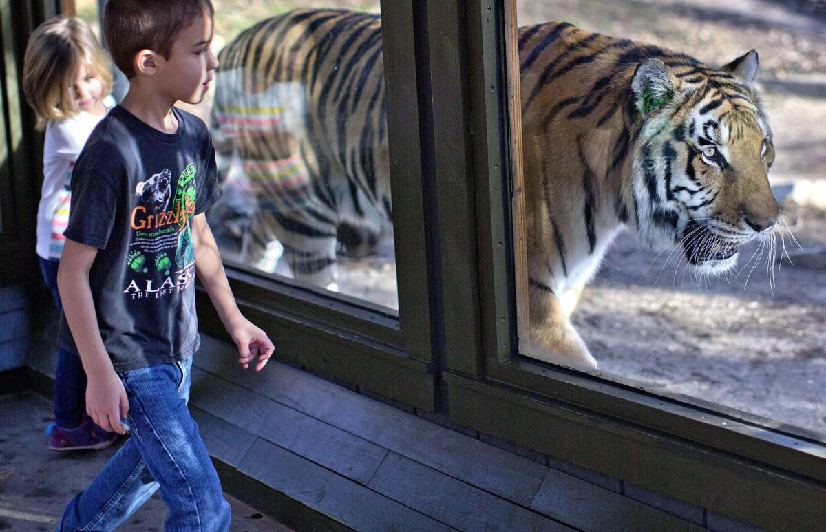 Axl, Siberian-mix tiger, at Greensboro Science Center