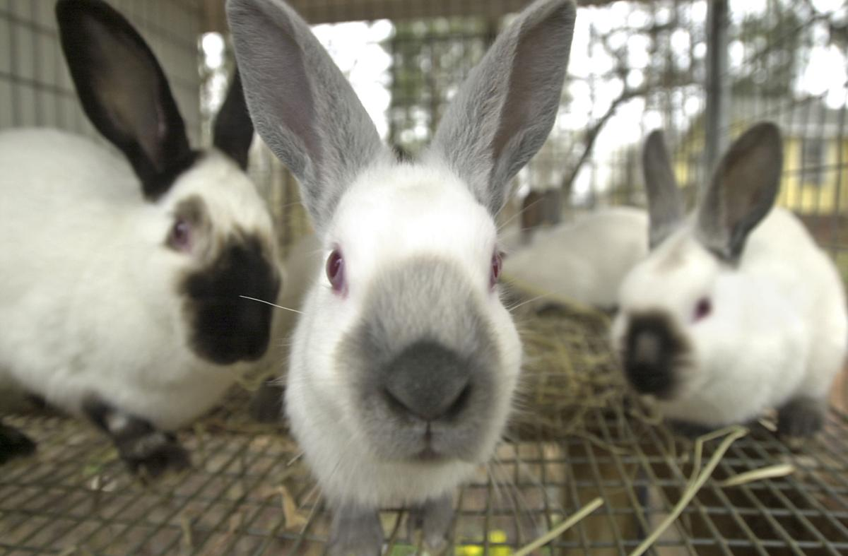 Bunnies Keep Family Hoppin News Greensboro Com