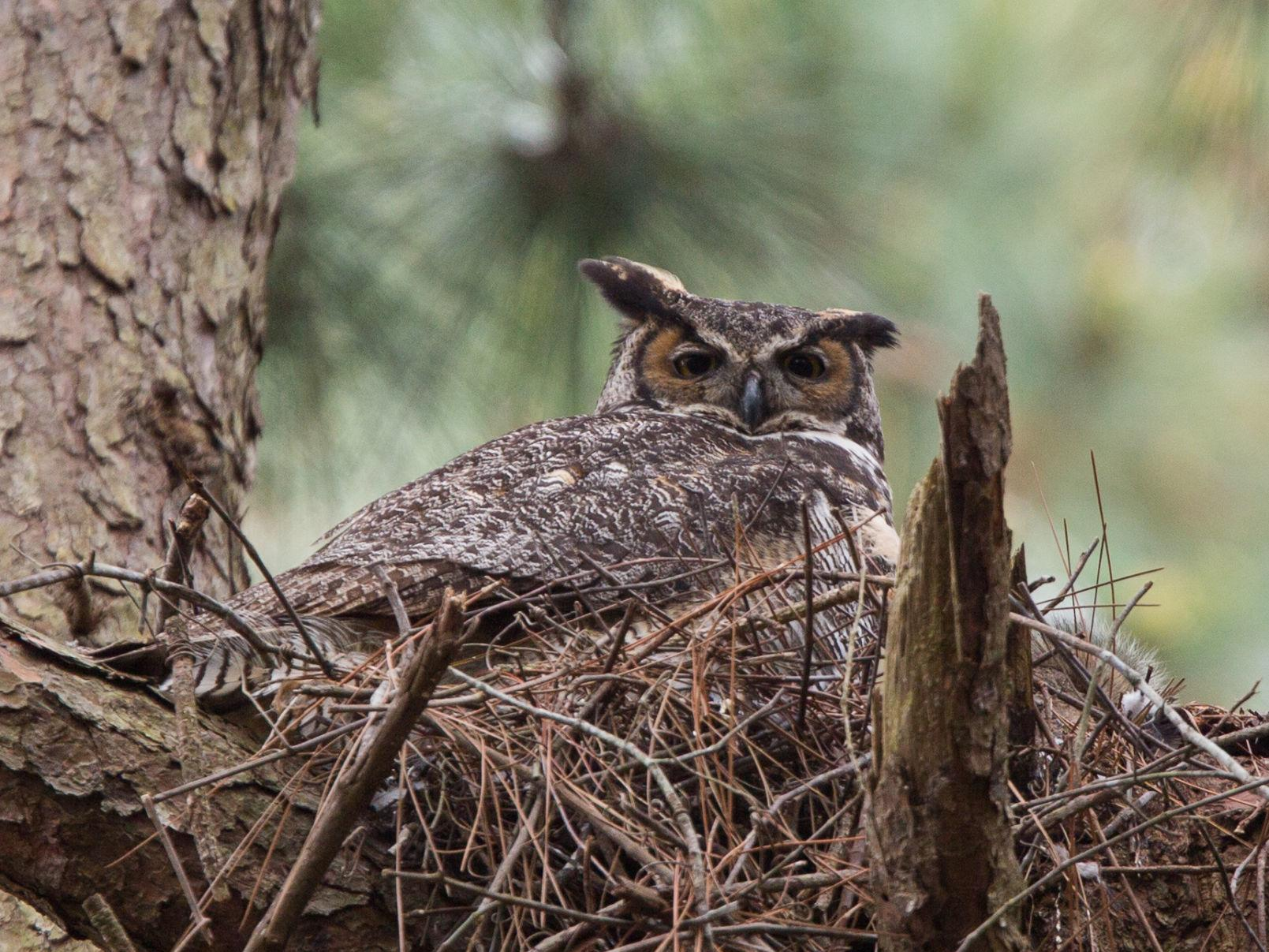 Careful Control Defines The Great Horned Owl S Hunt For Winter Food Entertainment Greensboro Com