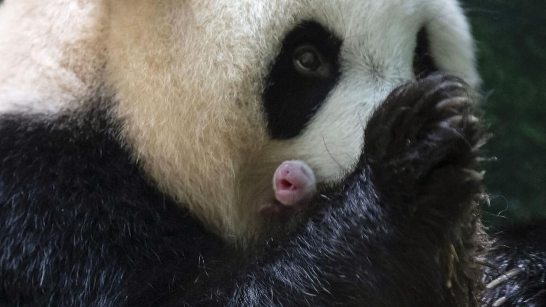 Watch now: Giant panda at French zoo gives birth to female twins