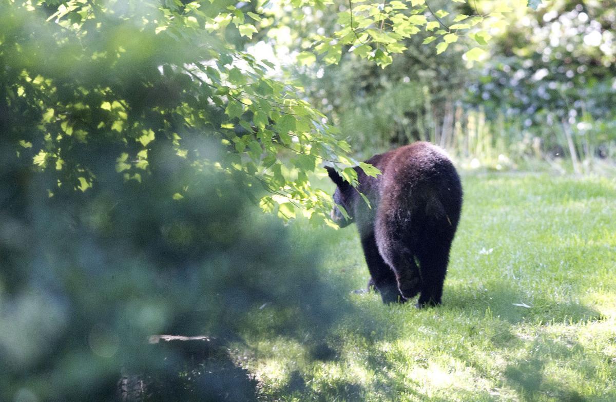 Black bear loose in Greensboro neighborhood (copy)