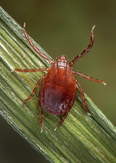 New tick species capable of transmitting deadly disease is spreading in the U.S.