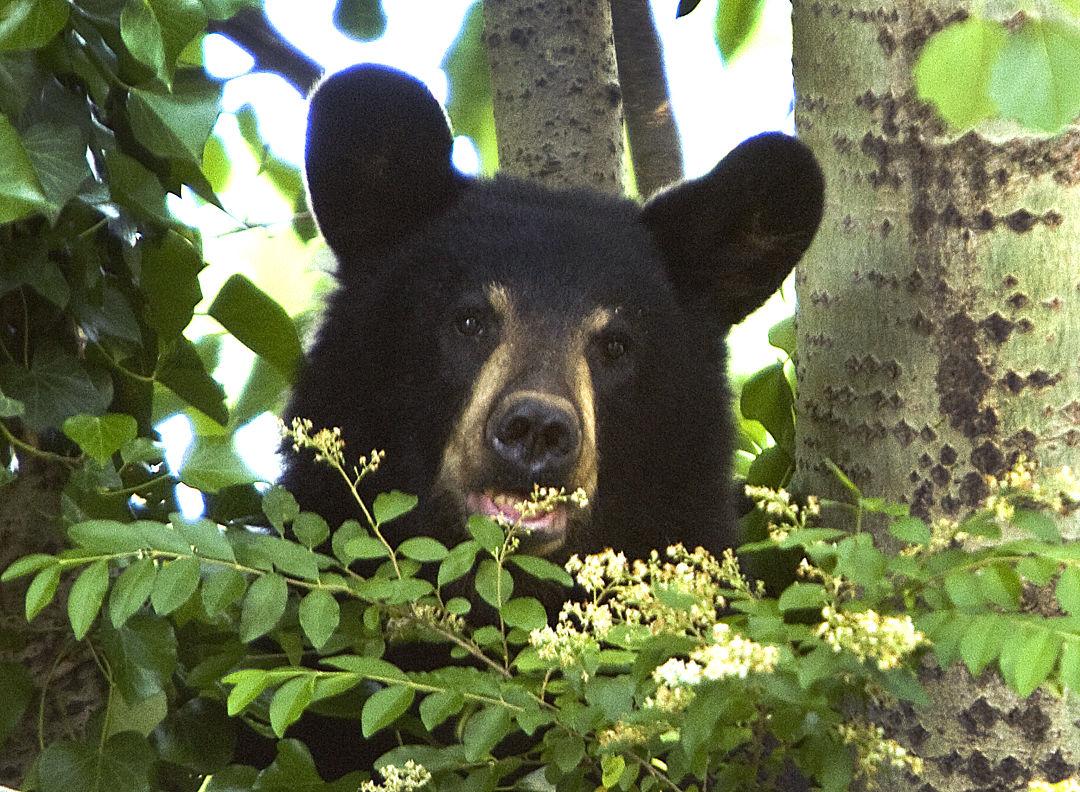 backyard bear news greensboro com