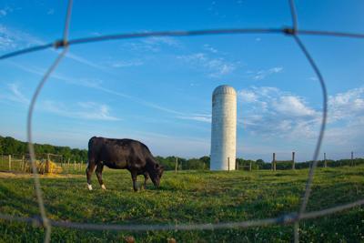 University Farm Cow