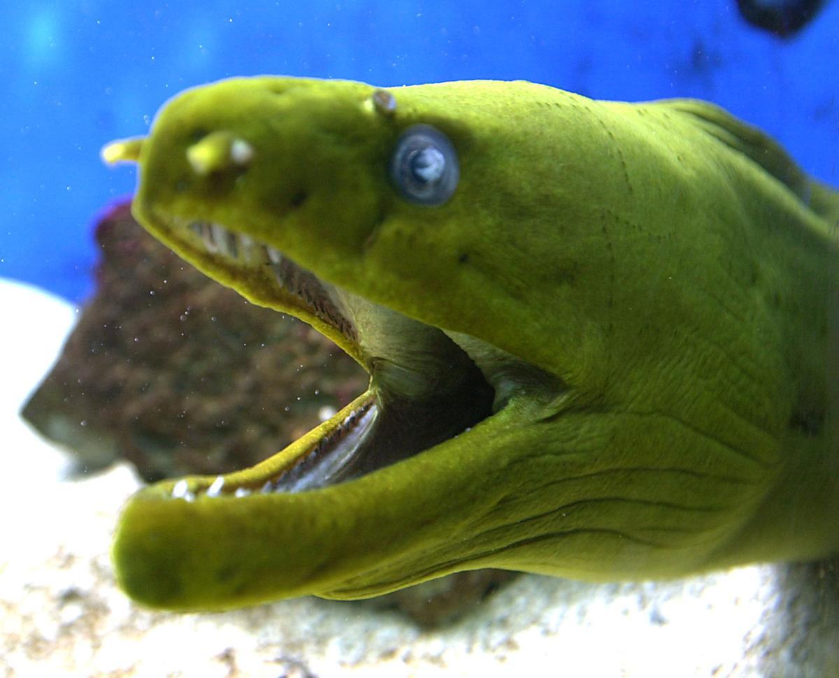 Large green fish