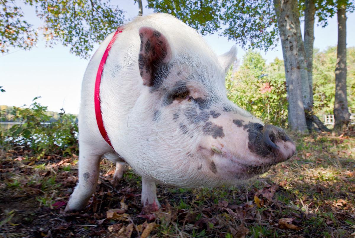 q a with celebrity pig ziggy the piggy life