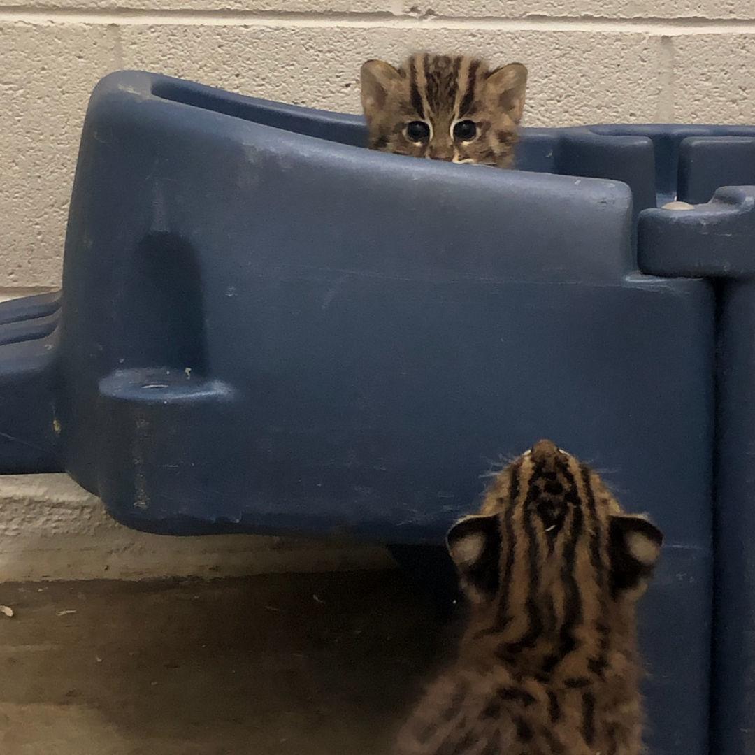 Female fishing cat kittens