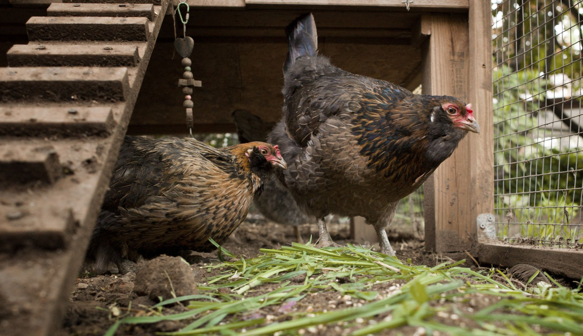 North Carolina salmonella outbreak linked to backyard chickens