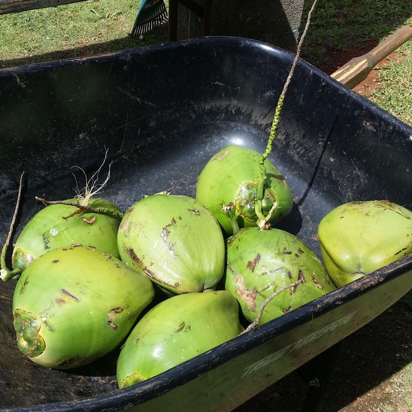 To månha or to coconut? That is the question