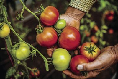 Avoiding tomato troubles