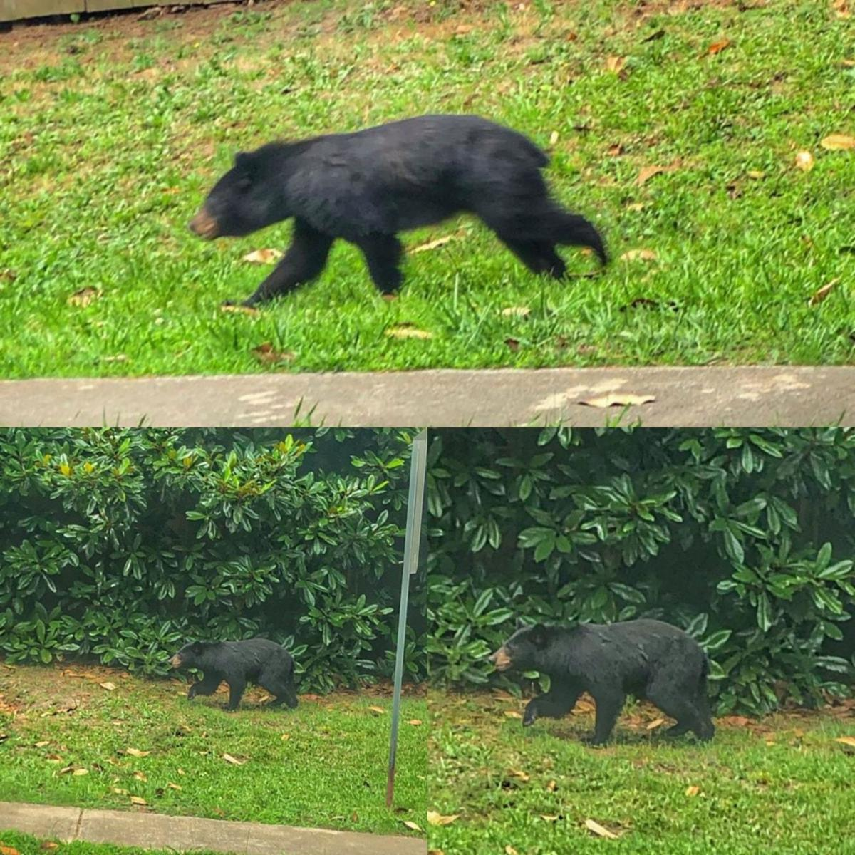 Bear Stripers a week after bear was hitcar in norcross, another