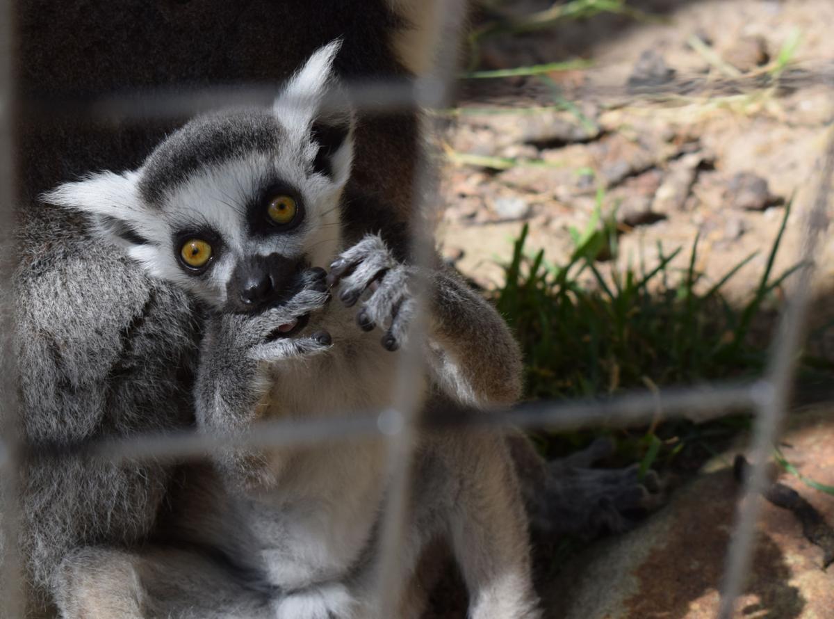 Wildlife Santuary baby ringtail lemur.jpg