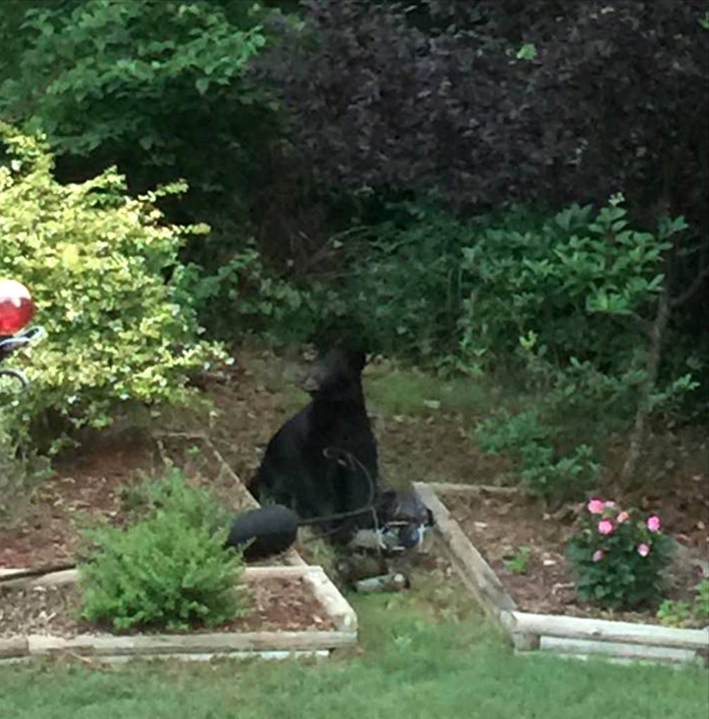 buford couple spots bear in backyard news gwinnettdailypost com