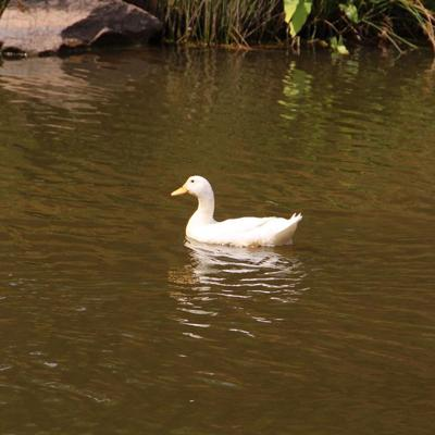 George_the_Duck.jpg