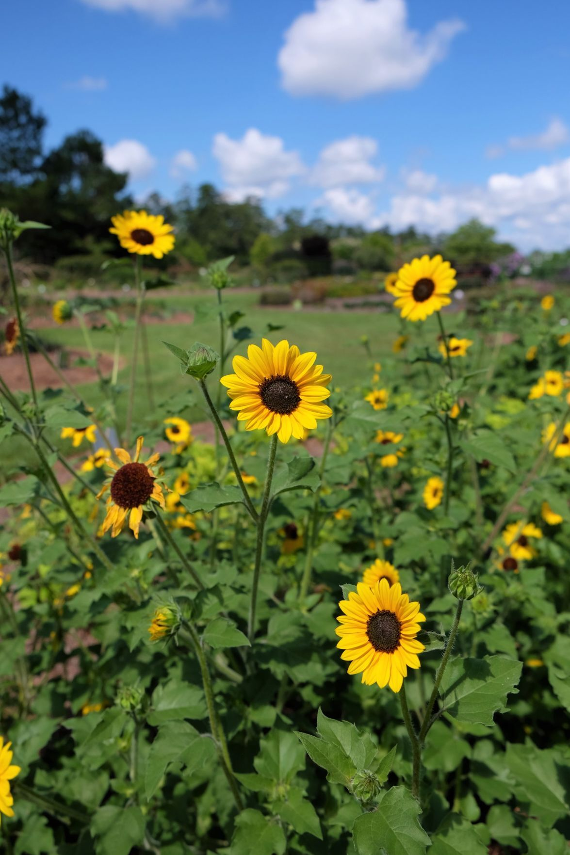 Beacon Impatiens, Suncredible Yellow sunflower make Super Plants list