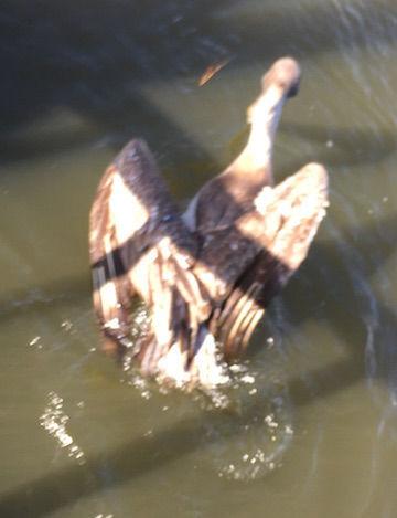 Rescued pelican