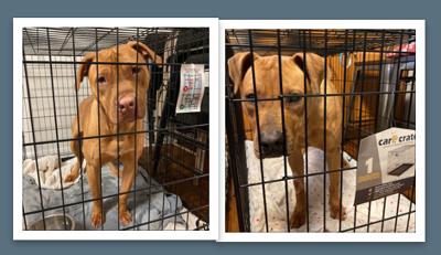 Abused pitbulls go to no-kill shelter