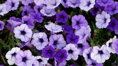 Supertunia comes in bold indigo color