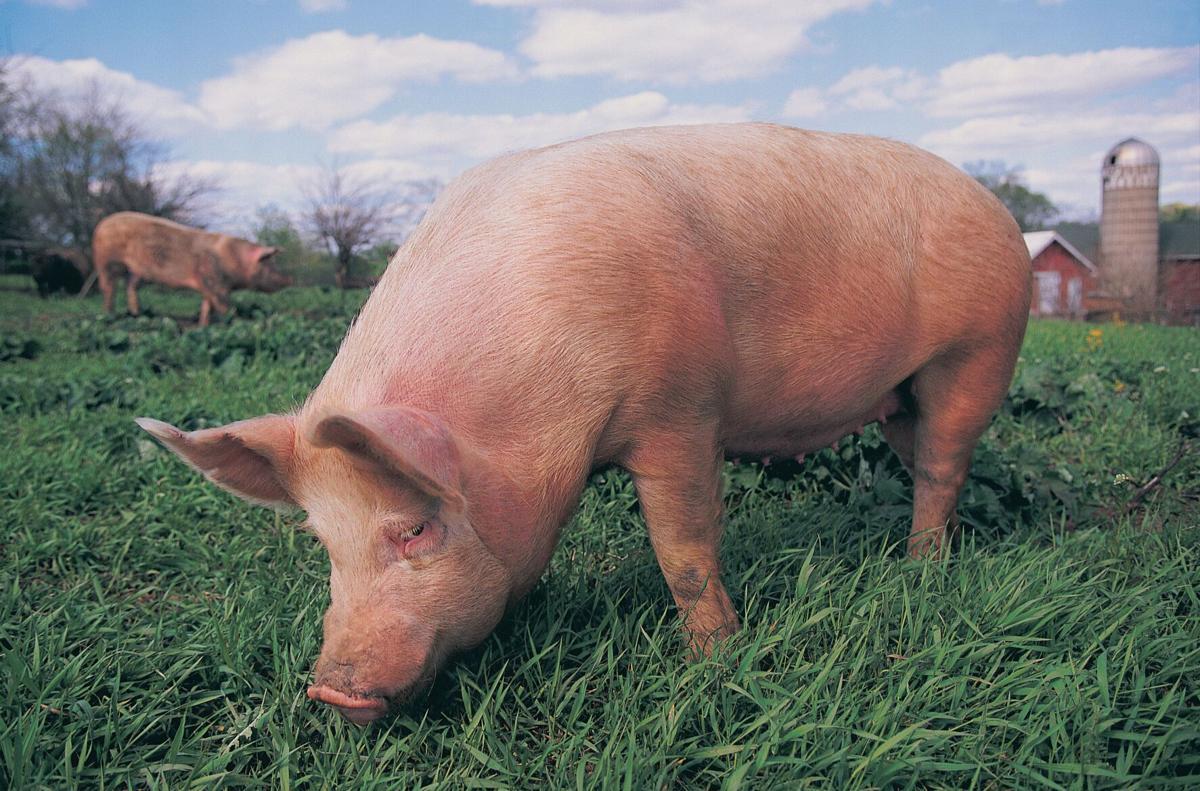 PigsHC1606_source.tif