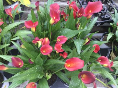 Calla Lilies From Mythology To Your Backyard Community